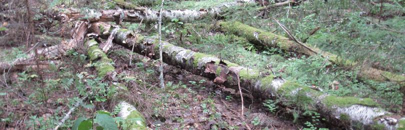 Заготовка и сбор упавших стволов деревьев или их частей для собственных нужд